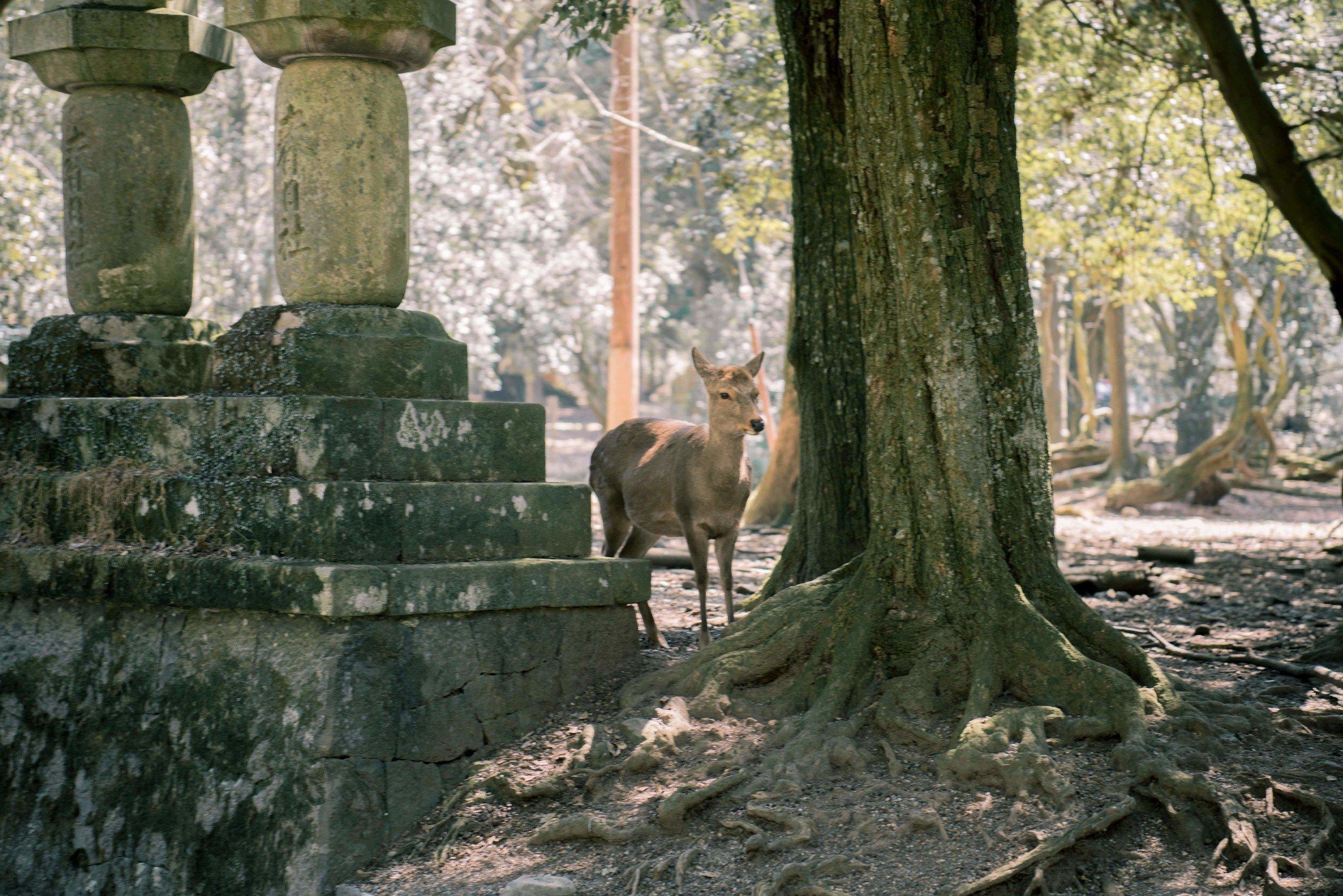 Nara Deer tour from Kyoto