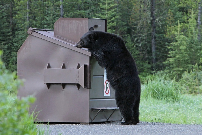 A budget backpacking bear dumpster diving for its meal