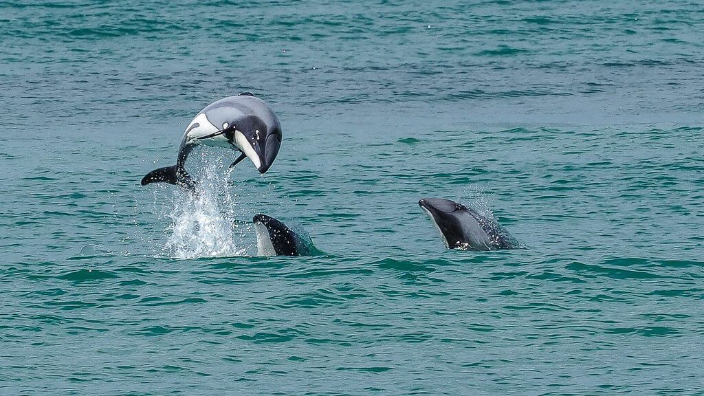 Hector's dolphins are a rare New Zealand native best found in Curio Bay