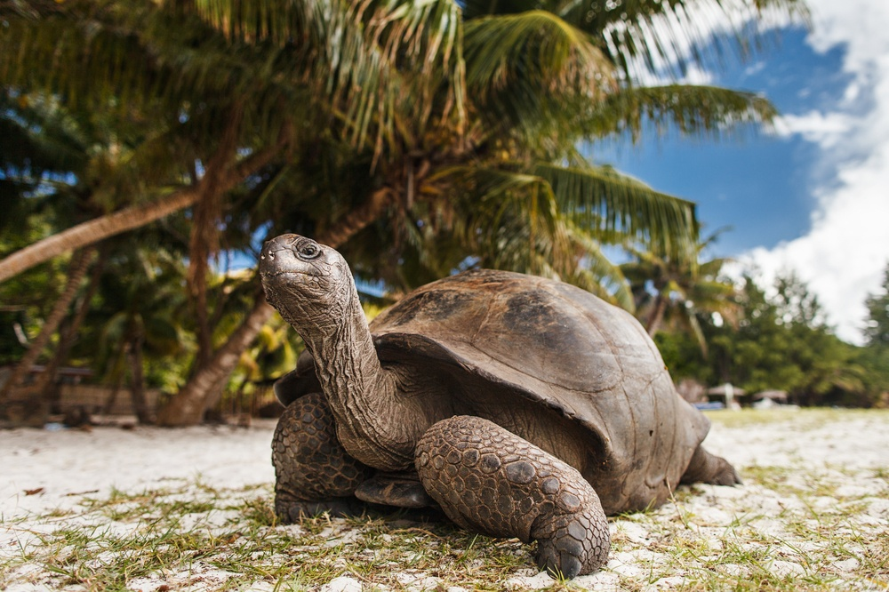 Tortoise on Curieuse Island, Seychlles, enjoying the beach