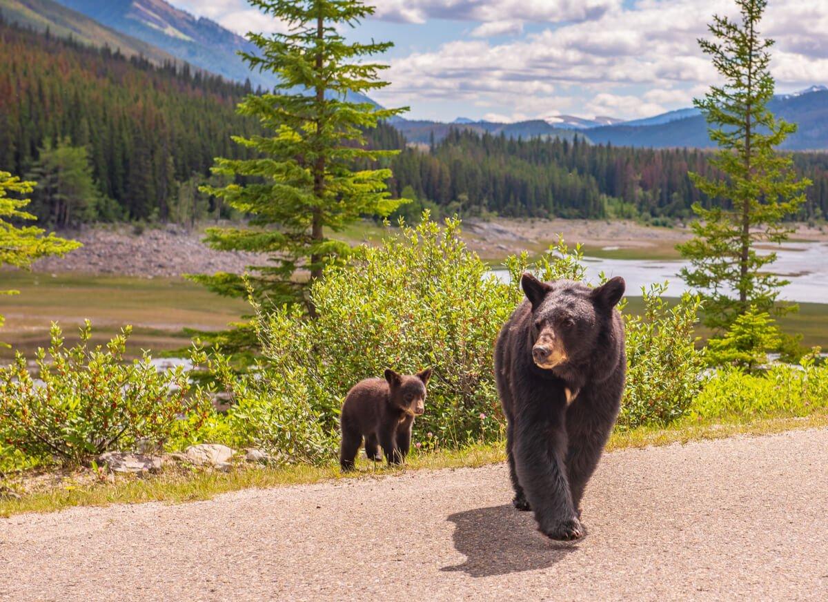 Bears on a road near a campervan and RV campsite in Jasper, Canada