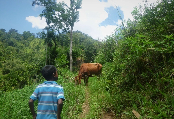 With a local boy and cow on a hike through Sri Lanka's villages near Ella