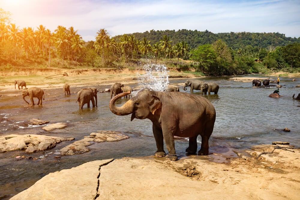Wildlife tourism in Sri Lanka - A herd of elephants bathing at Pinnawalla Elephant Orphanage