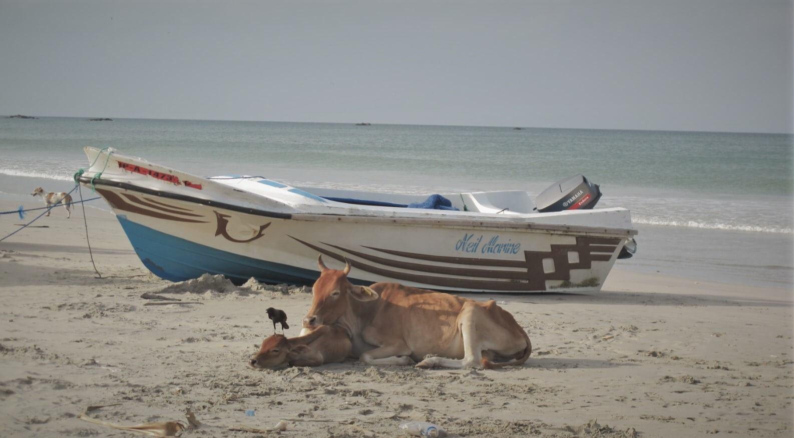 Cute cows on a beautiful Sri Lanka beach