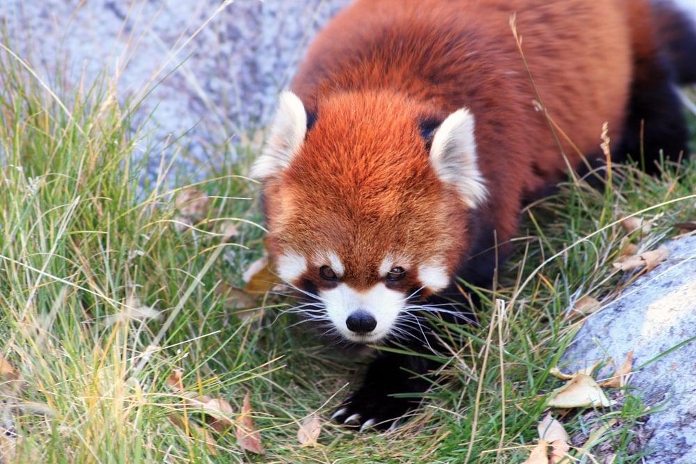 Red panda at the Calgary Zoo.