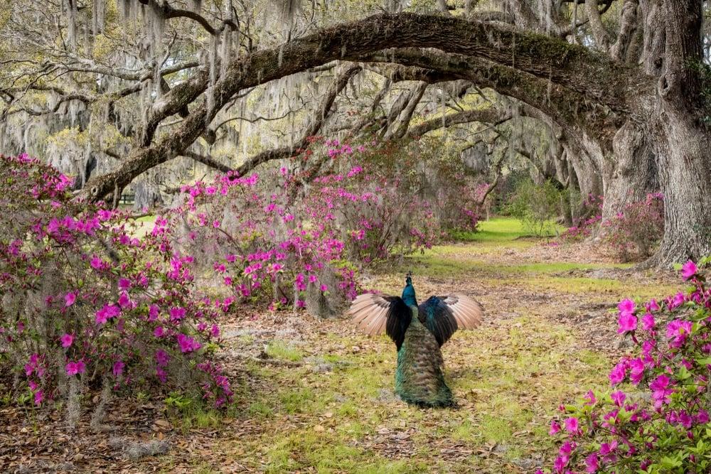 Magnolia Plantation and Gardens, Charleston