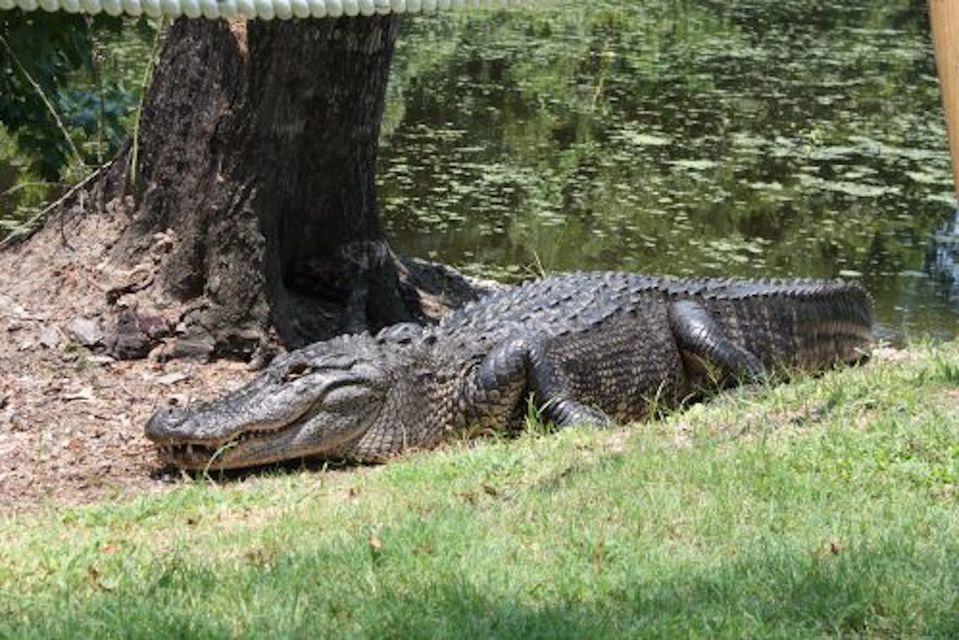Alligator wandering around Louisiana wetlands.
