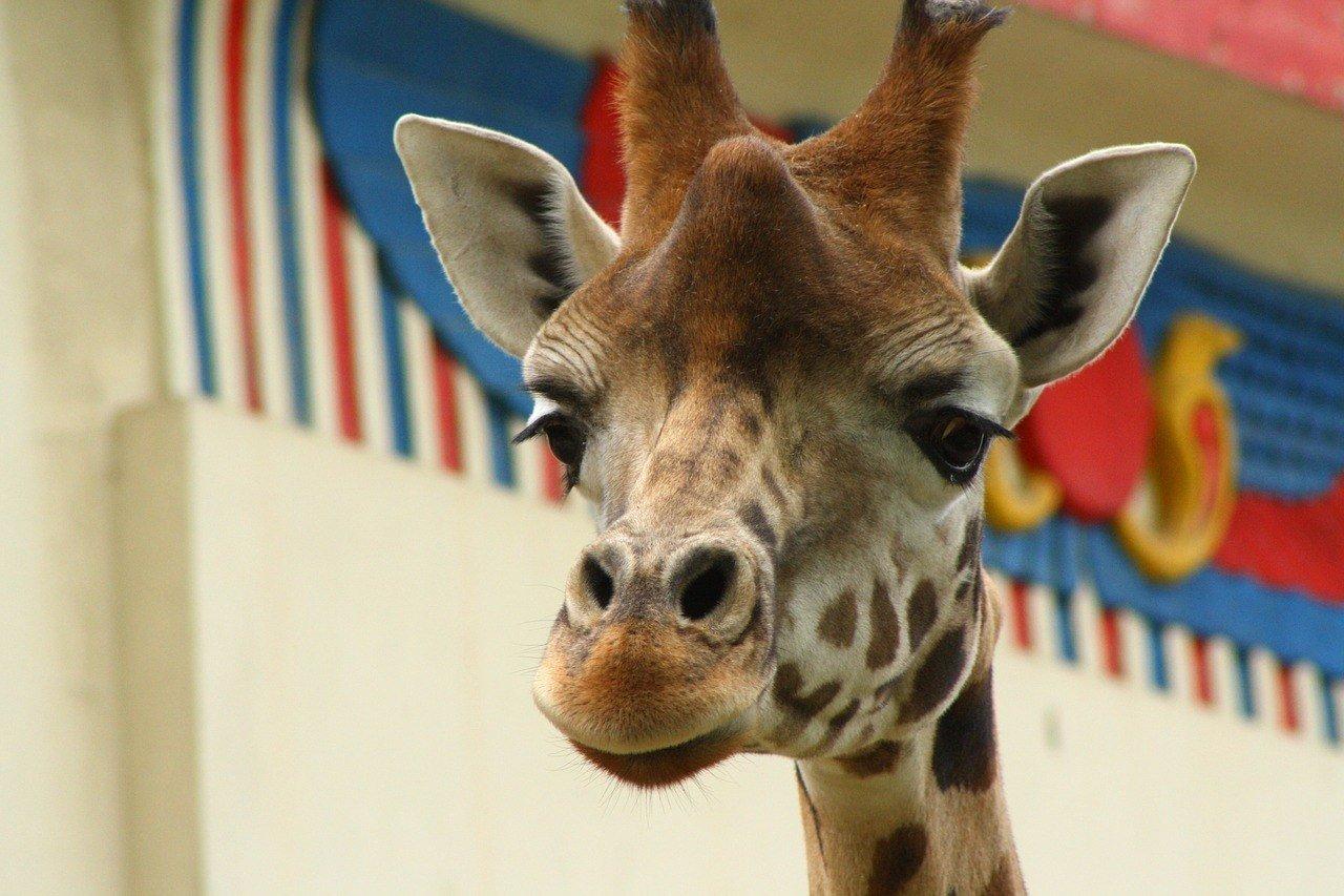 antwerp-giraffe