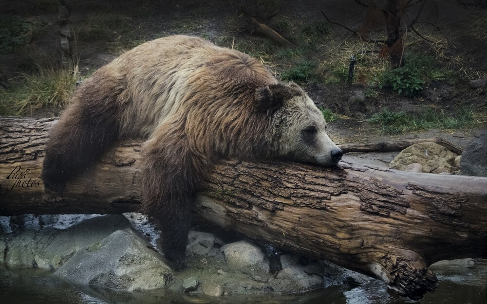 A bear chilling