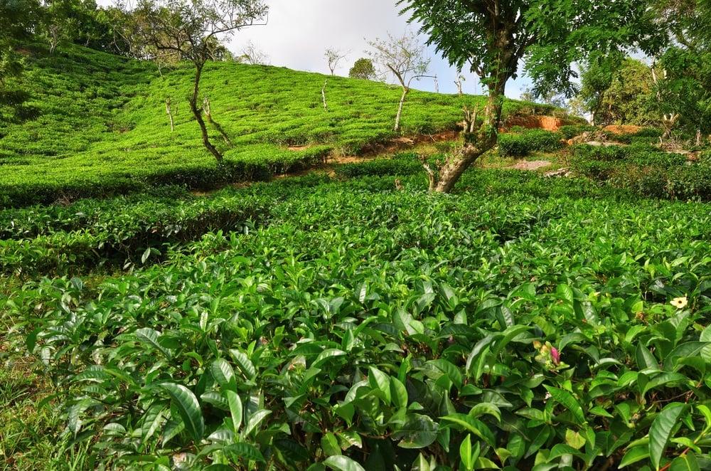 Seychelles Tea Plantation