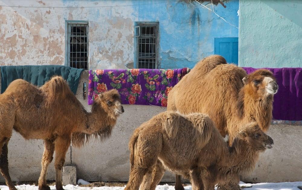 camels in karakol kyrgyzstan
