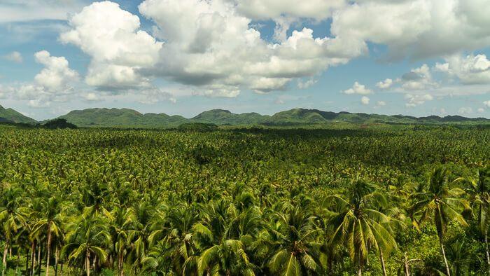 Siargao Coconut Tree Overlook