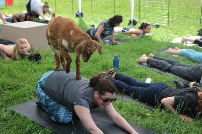 Goat Yoga in Seattle