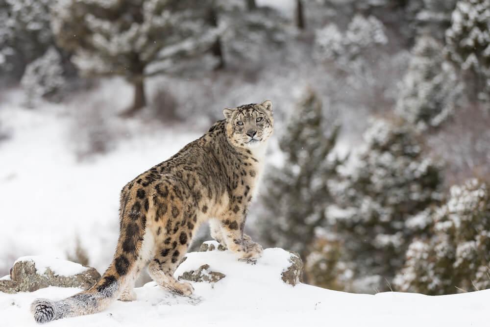 snow leopard tour in kyrgyzstan