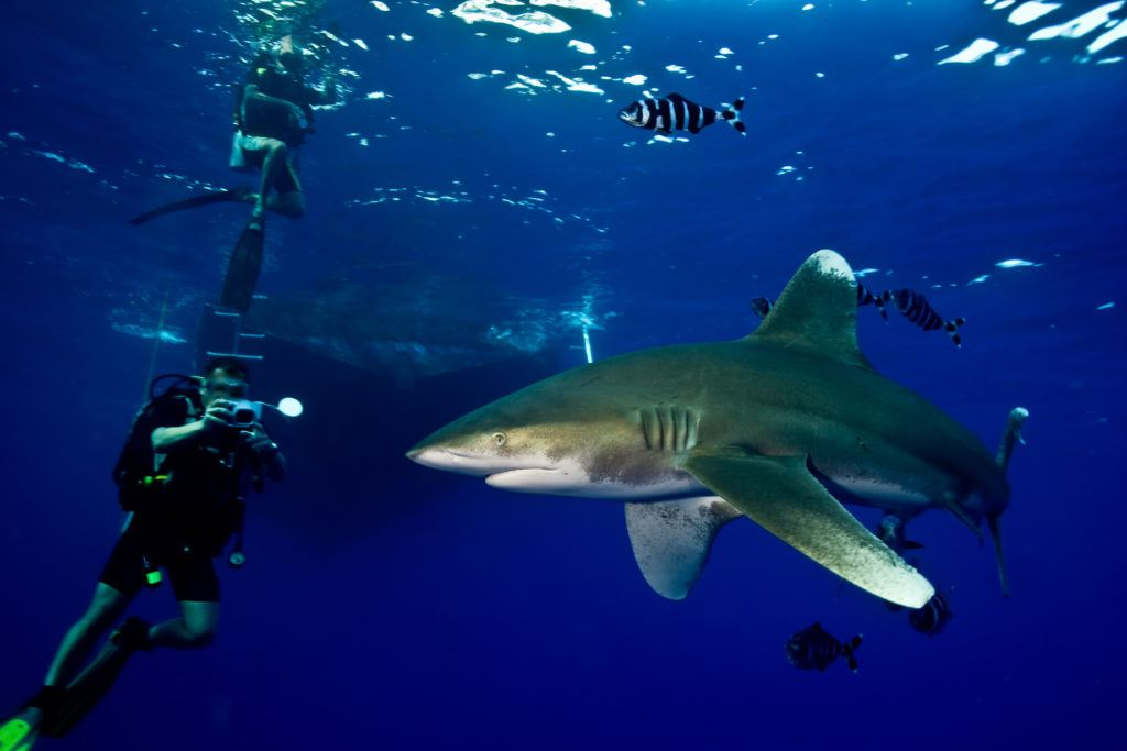 swimming with sharks in red sea