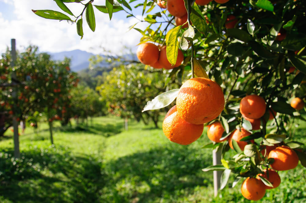 Orange trees on a kibbutz of Israel's beaten track