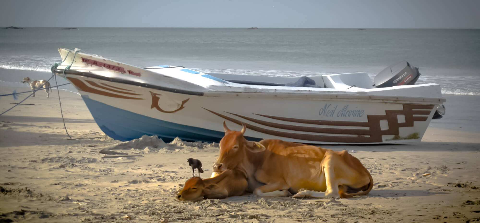 Cows sleeping on a sandy beach