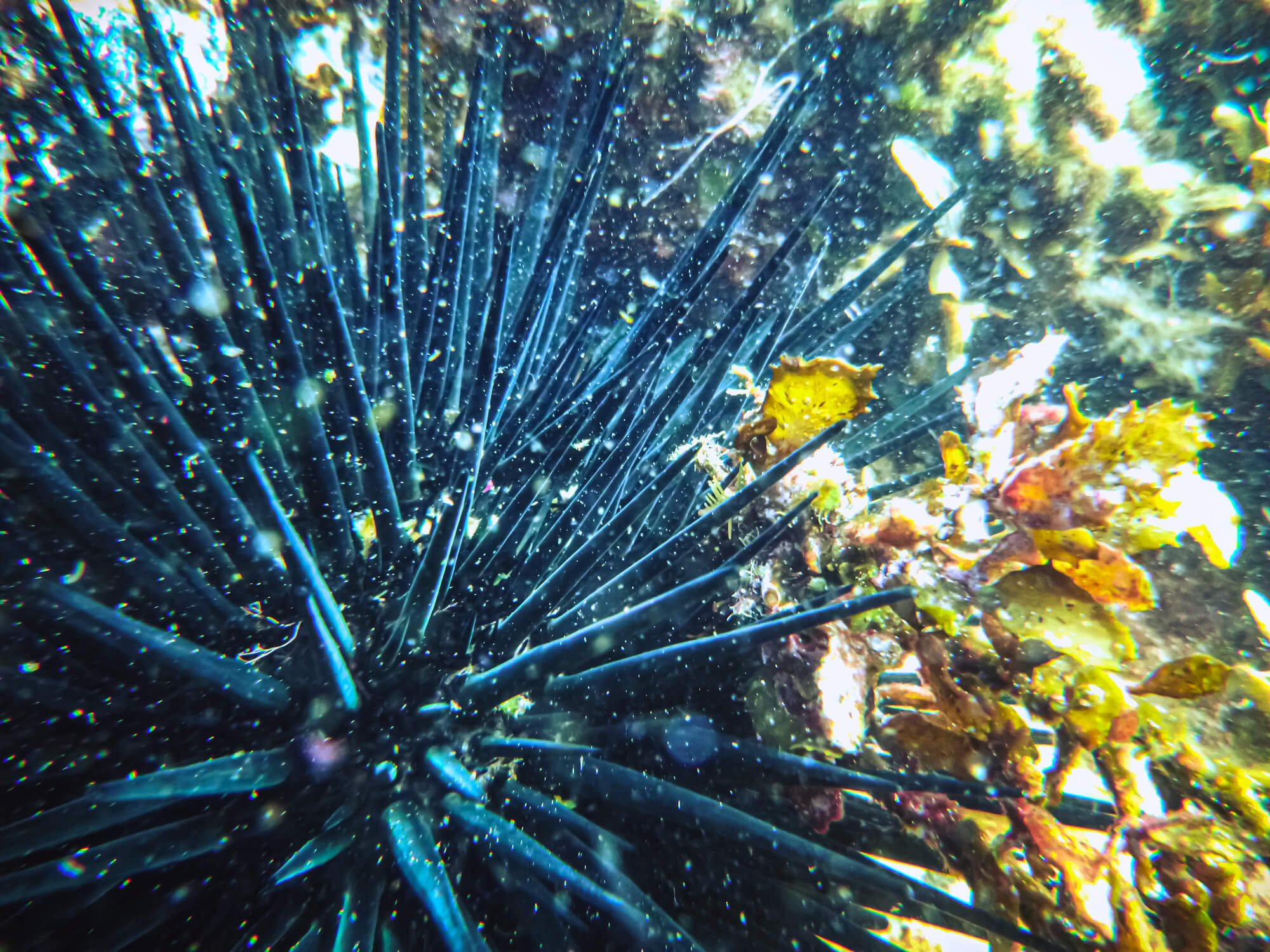 Close-up of a sea urchin while scuba diving in Mauritius