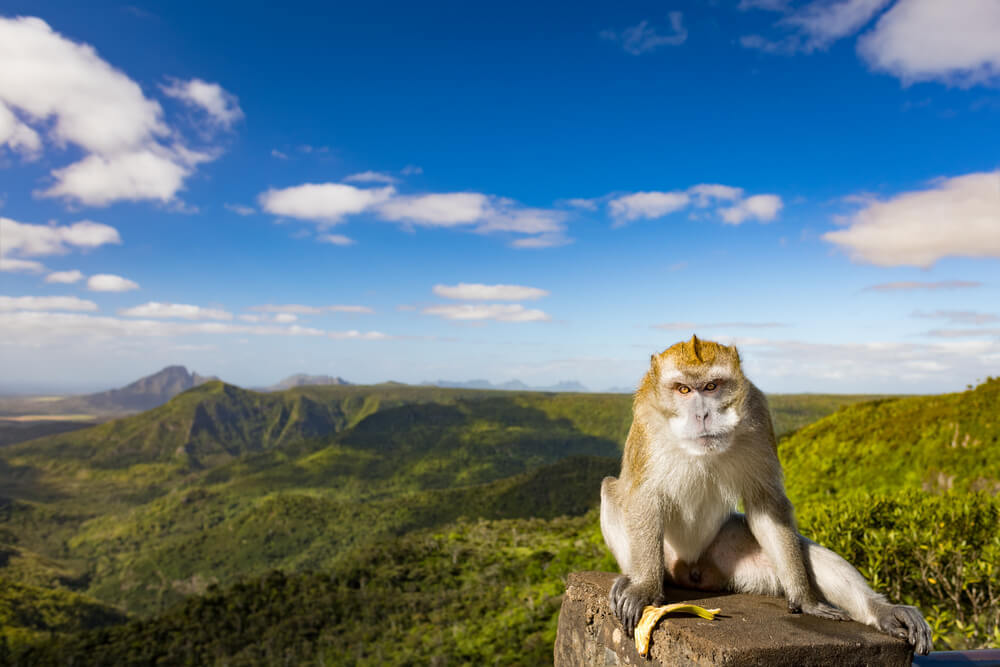 Grumpy monkey in Black River Gorges National Park - must-do Mauritius hiking