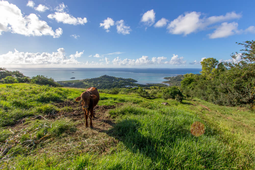 Rodrigues Island and a cow - a must-see destination in Mauritius