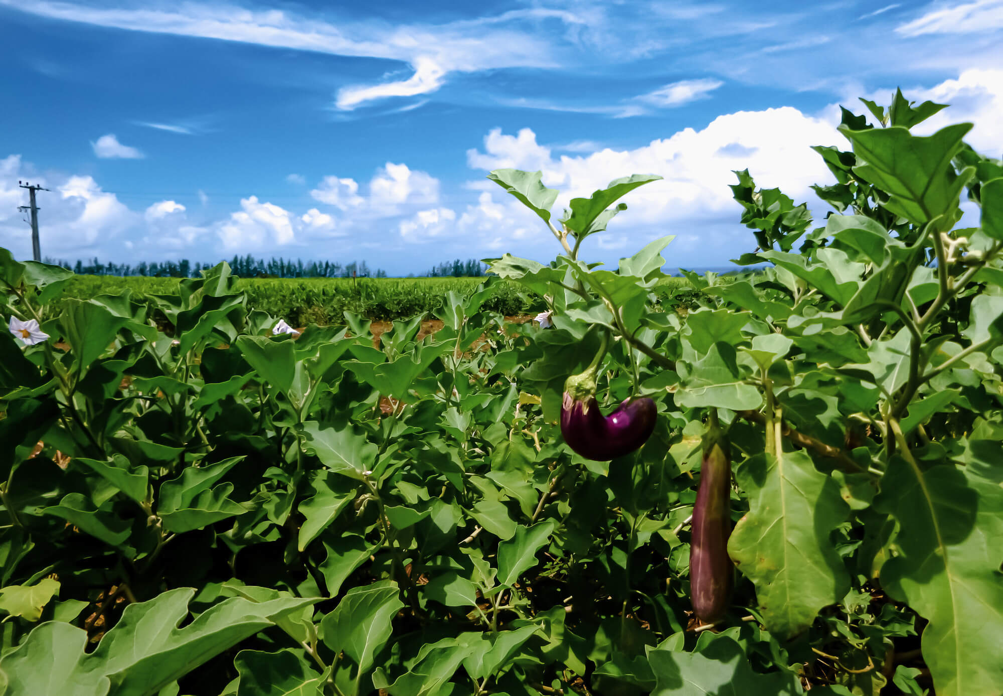 Photographing eggplant crops while sightseeing in Mauritius