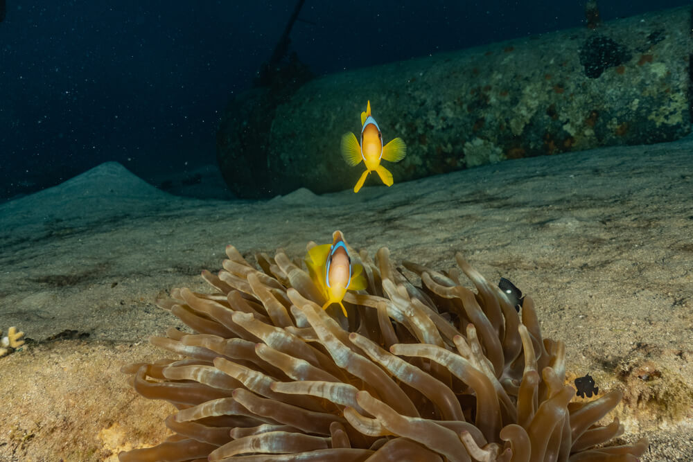 Photo of fish and anemone while scuba diving in Eilat
