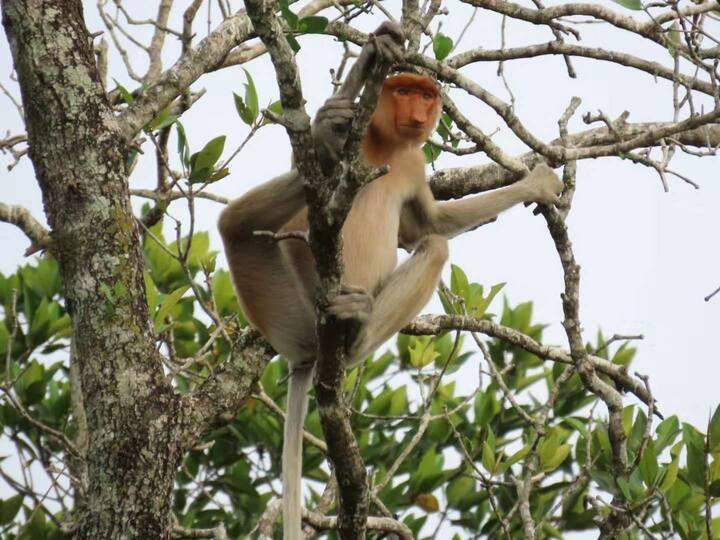 Kota Kinabalu proboscis monkey