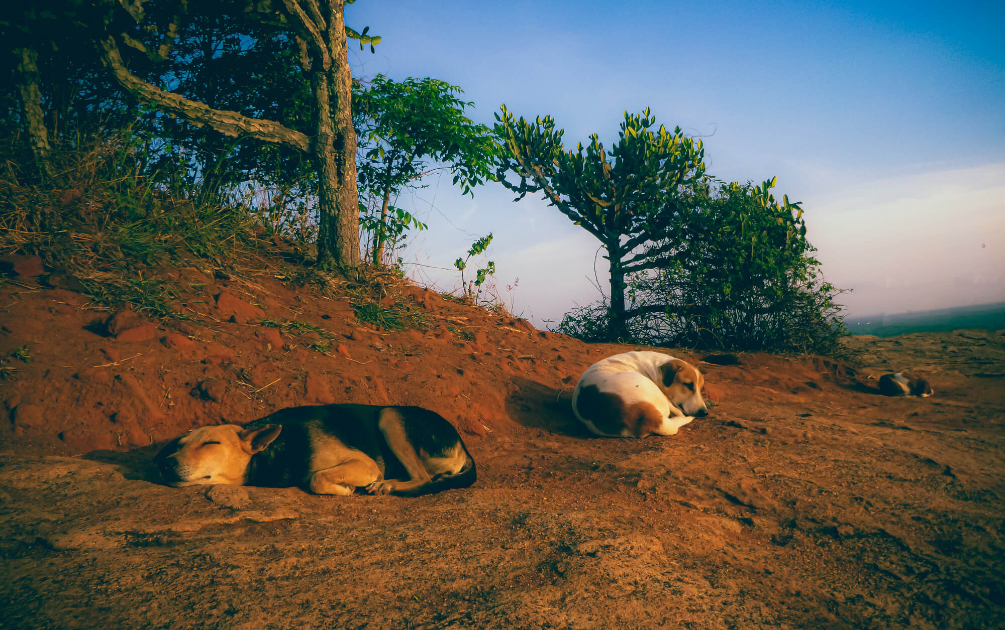 Some dogs napping after a tiring trip exploring Sri Lanka