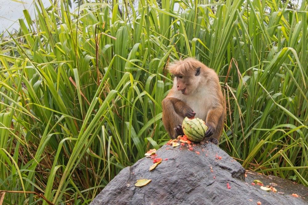 Wilpattu National Park monkey - bonus safari stop on the 3-week Sri Lanka itinerary