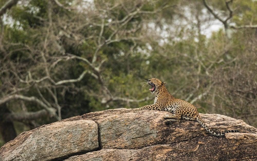 Sightseeing Sri Lanka's wildlife from a safari in Yala National Park