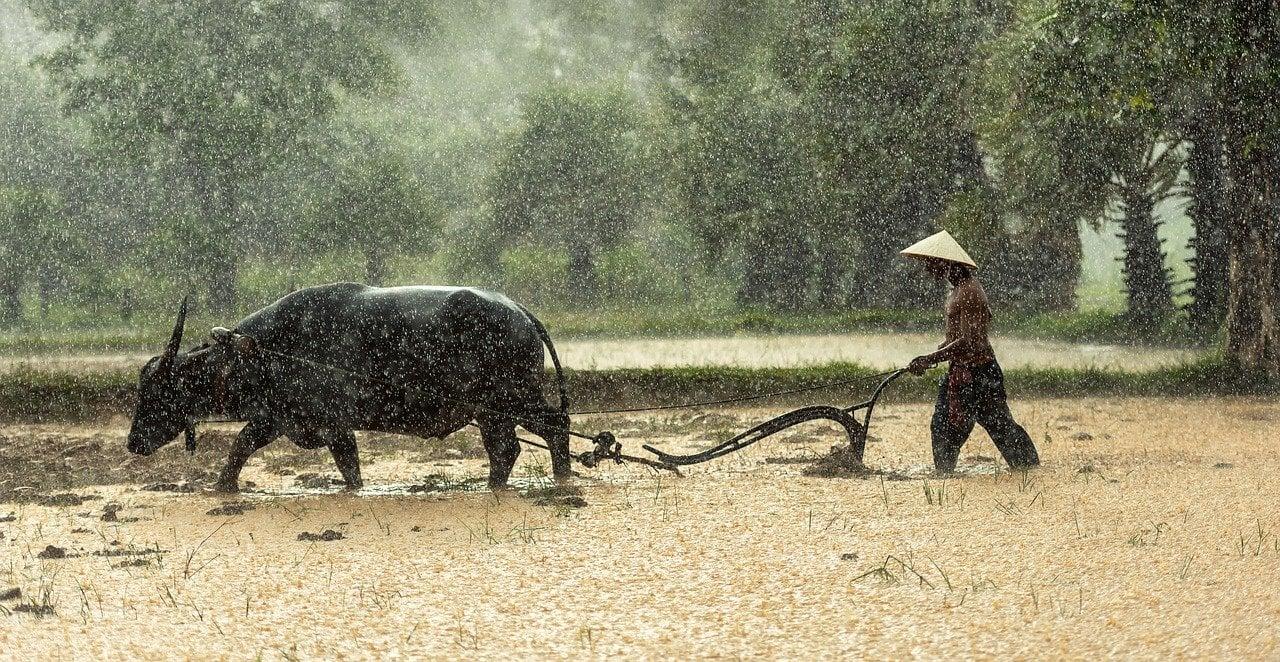 A Vietnamese farmer drives a buffalo in beautiful Vietnam.