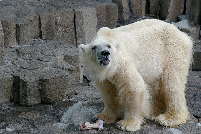 An example of an animal being abused in a zoo - a polar bear in Ueno Zoo, Tokyo, in summer