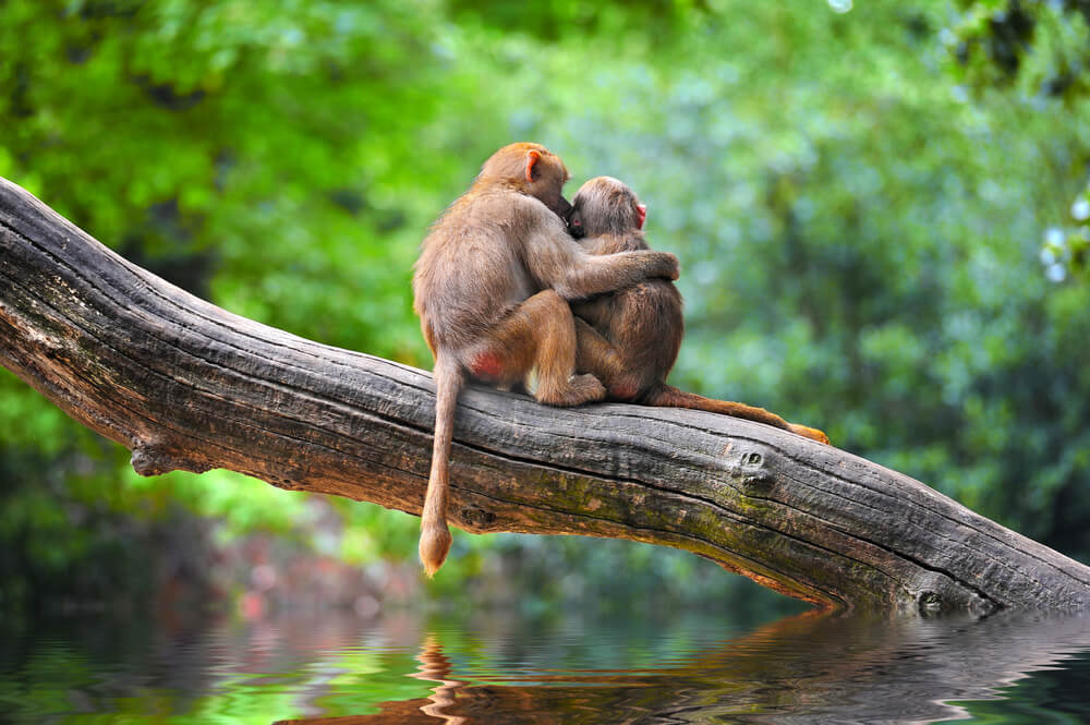 Two monkeys at a zoo cuddling