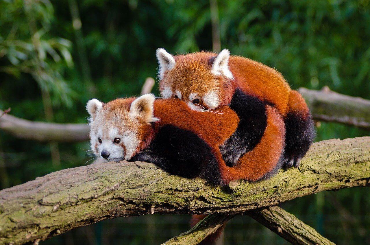 Safari photo of two red pandas cuddling