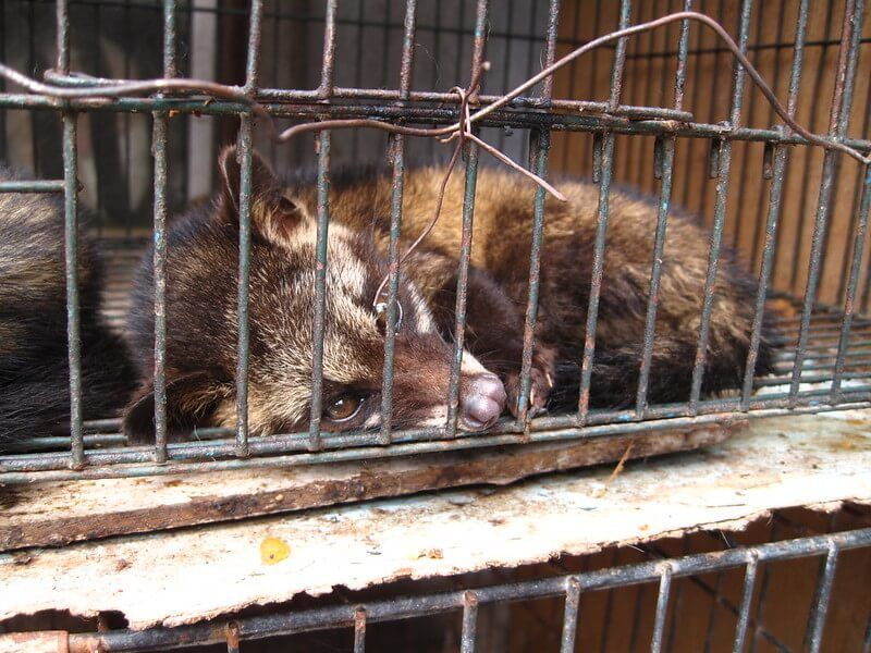 A caged civet being farmed for the making of kopi luwak coffee