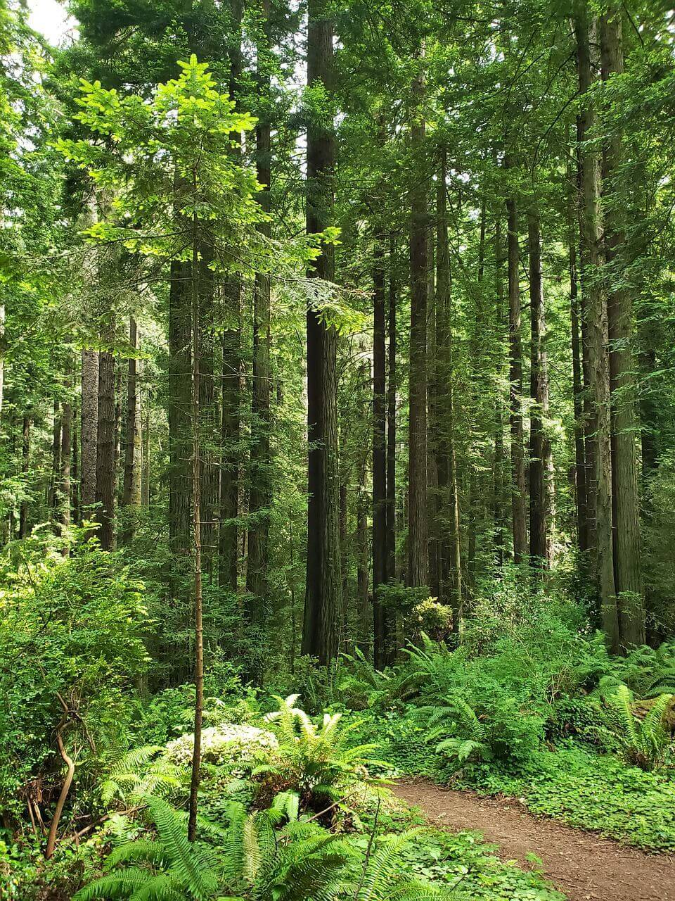Arcata, Redwoods