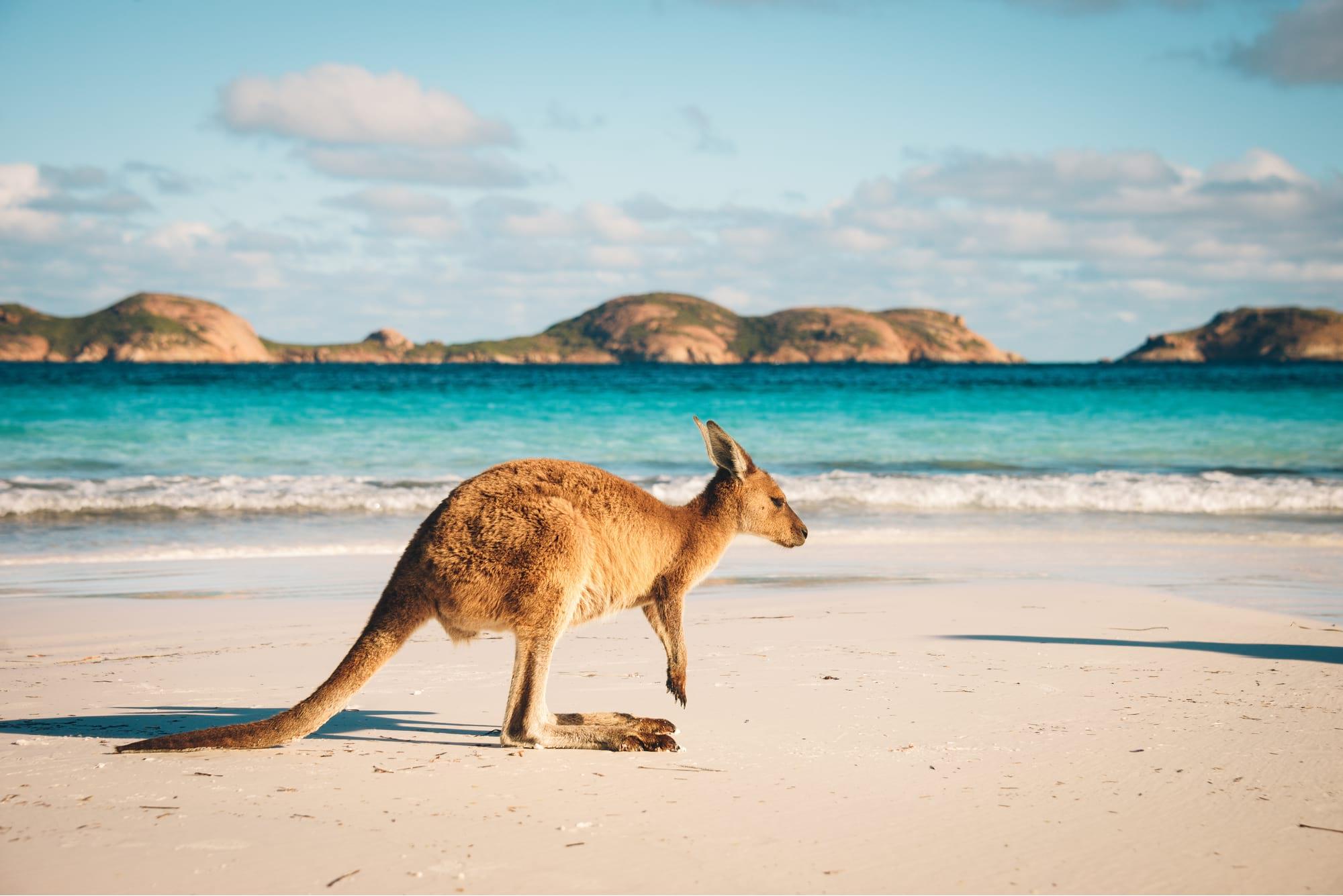 A kangaroo on a coastal Australian national park beach