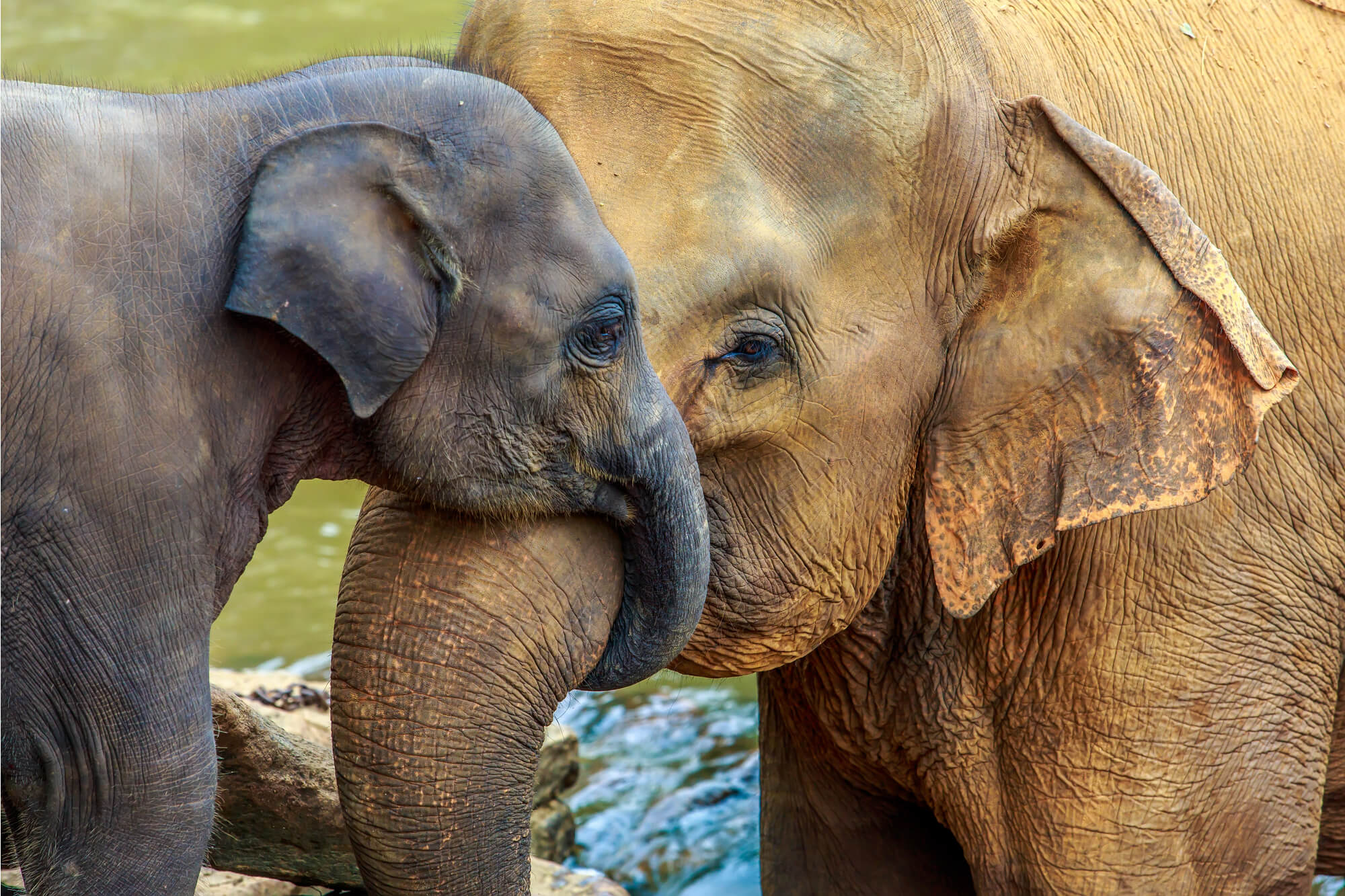 A pair of elephants in a sanctuary in Southeast Asia cuddling