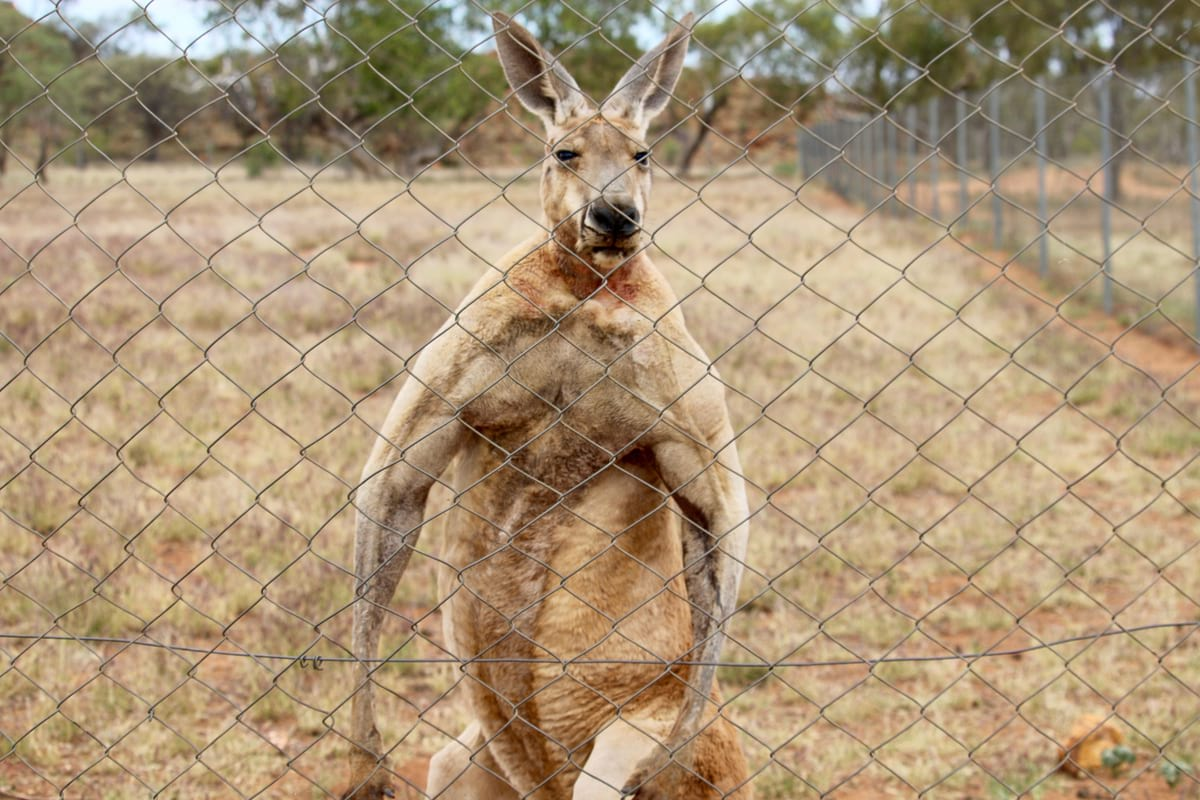 An extremely muscular kangaroo giving the stink-eye to some tourists in Australia