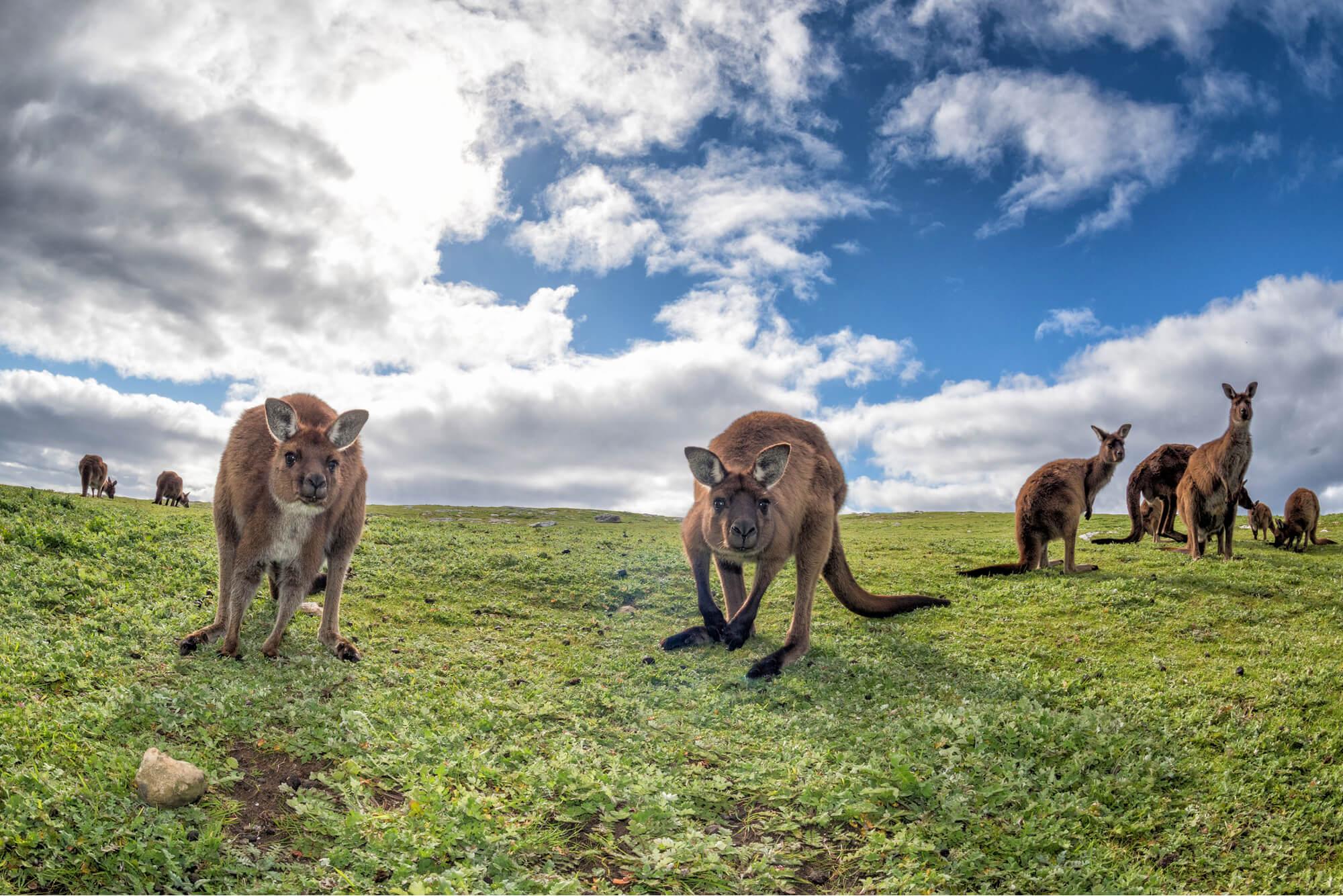 Mob of roos on Kangaroo Island - best place to see Kangaroos in Australia