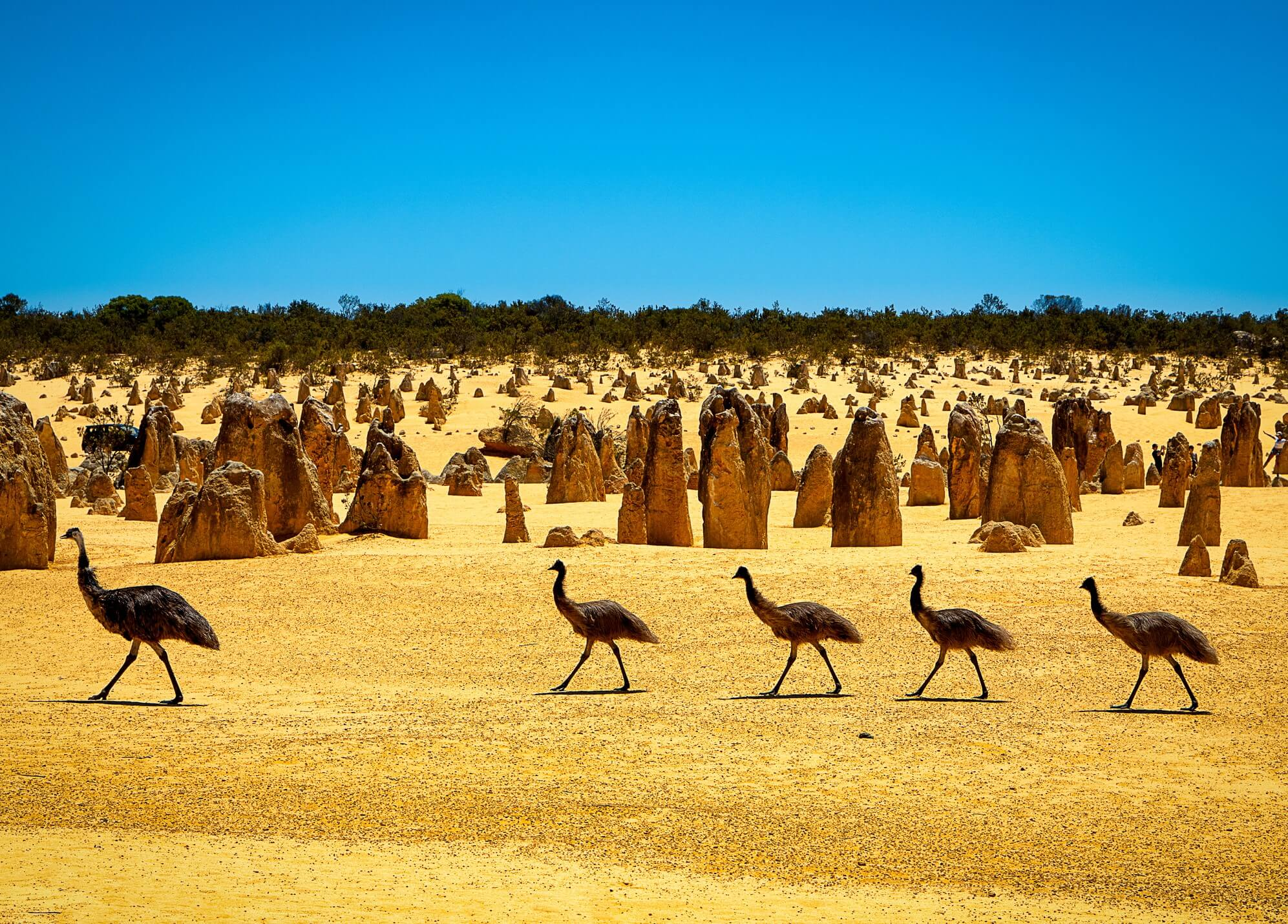 Flock of emus on an adventure in Australia at Nambung National Park