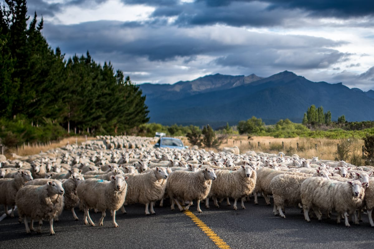 A road crowded by sheep on a scenic drive in South Island