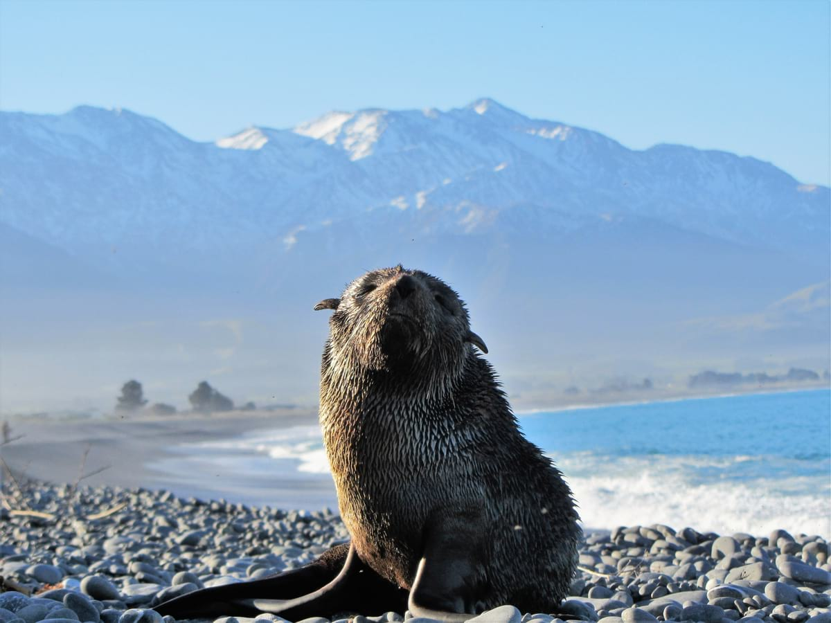 Spotting a fur seal in Kaikoura - popular tourist attraction