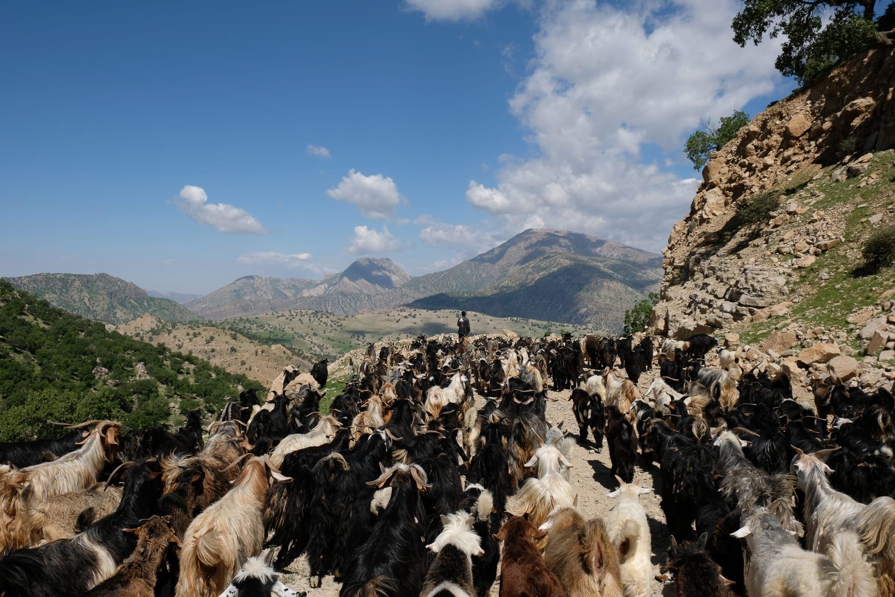 goats herders in iran