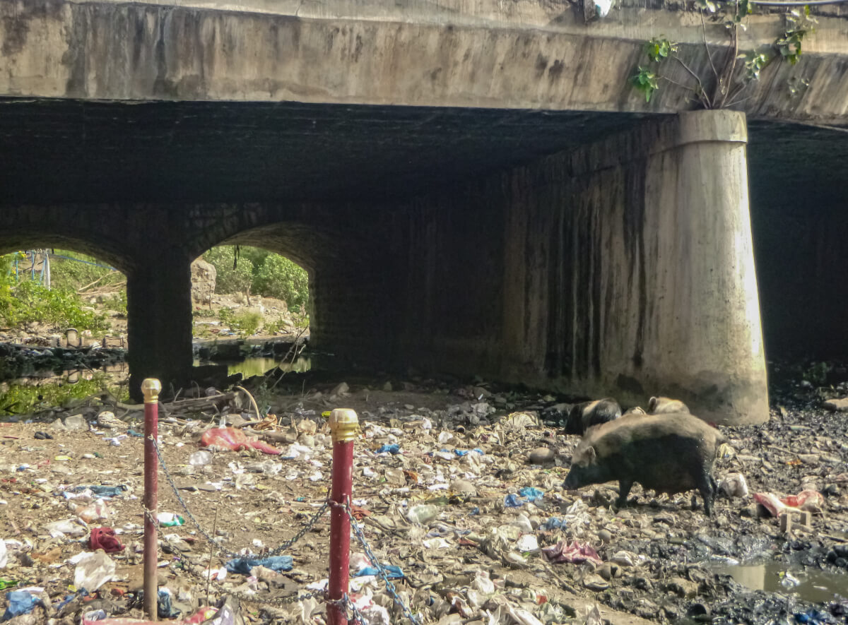 Photograph of rubbish and pig seen while visiting Colombo
