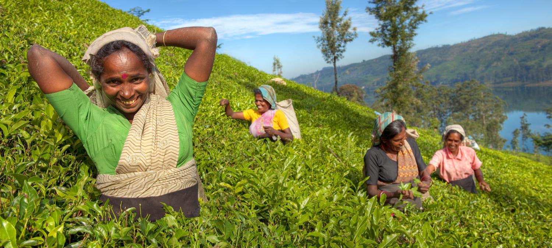 Some local pickers in Sri Lanka's mountain tea plantations