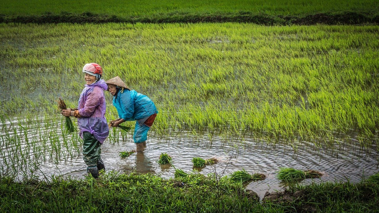 Local Vietnamese people in a flooded rice paddy farm during the wet season