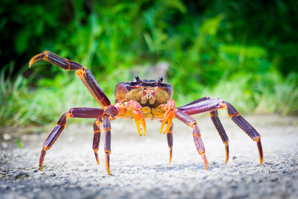 Coconut Crab - indigenous wildlife on the tropical island nation of Niue