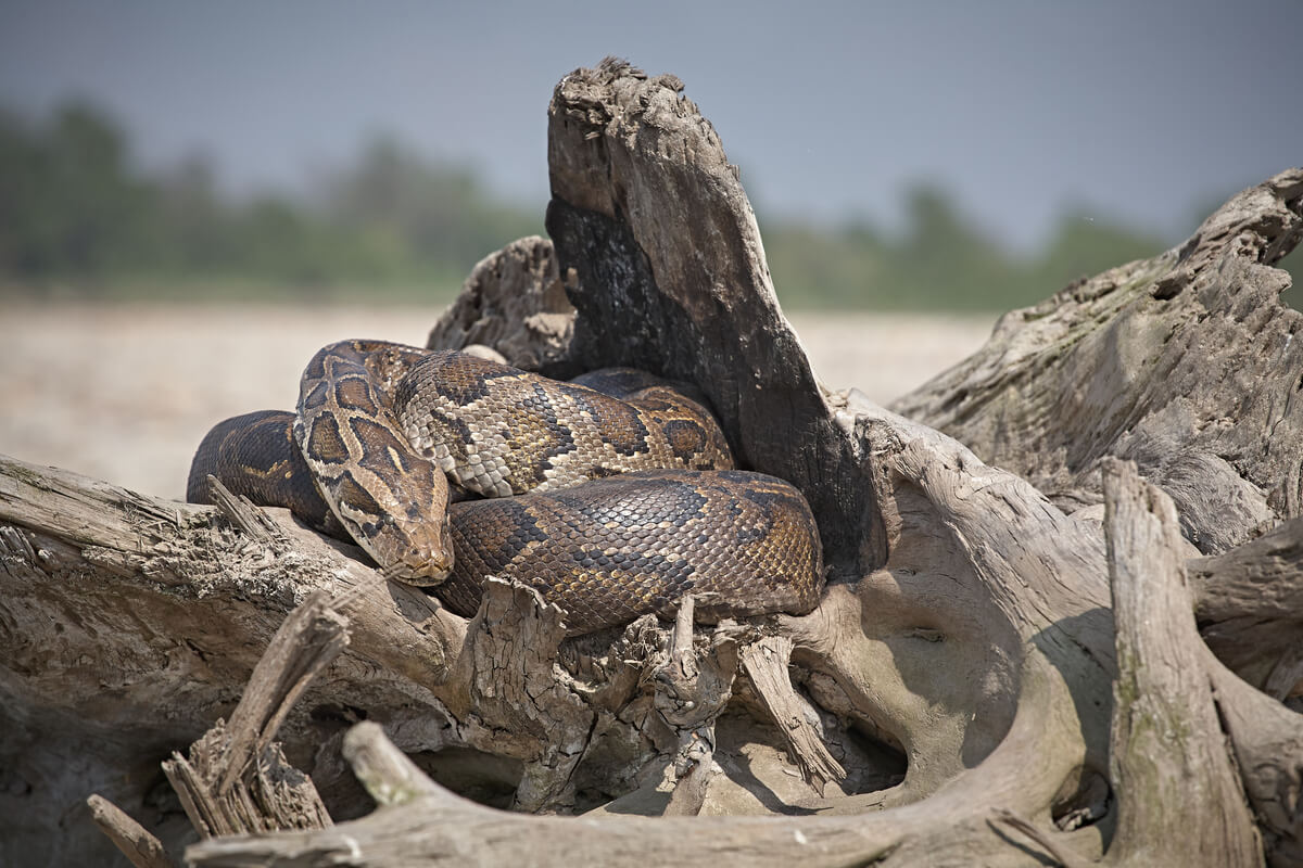 A python seen on a tour while visiting Bardia National Park
