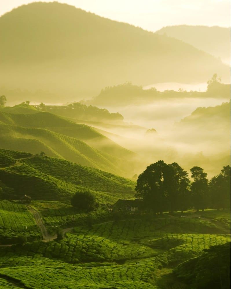 malaysia tea plantations